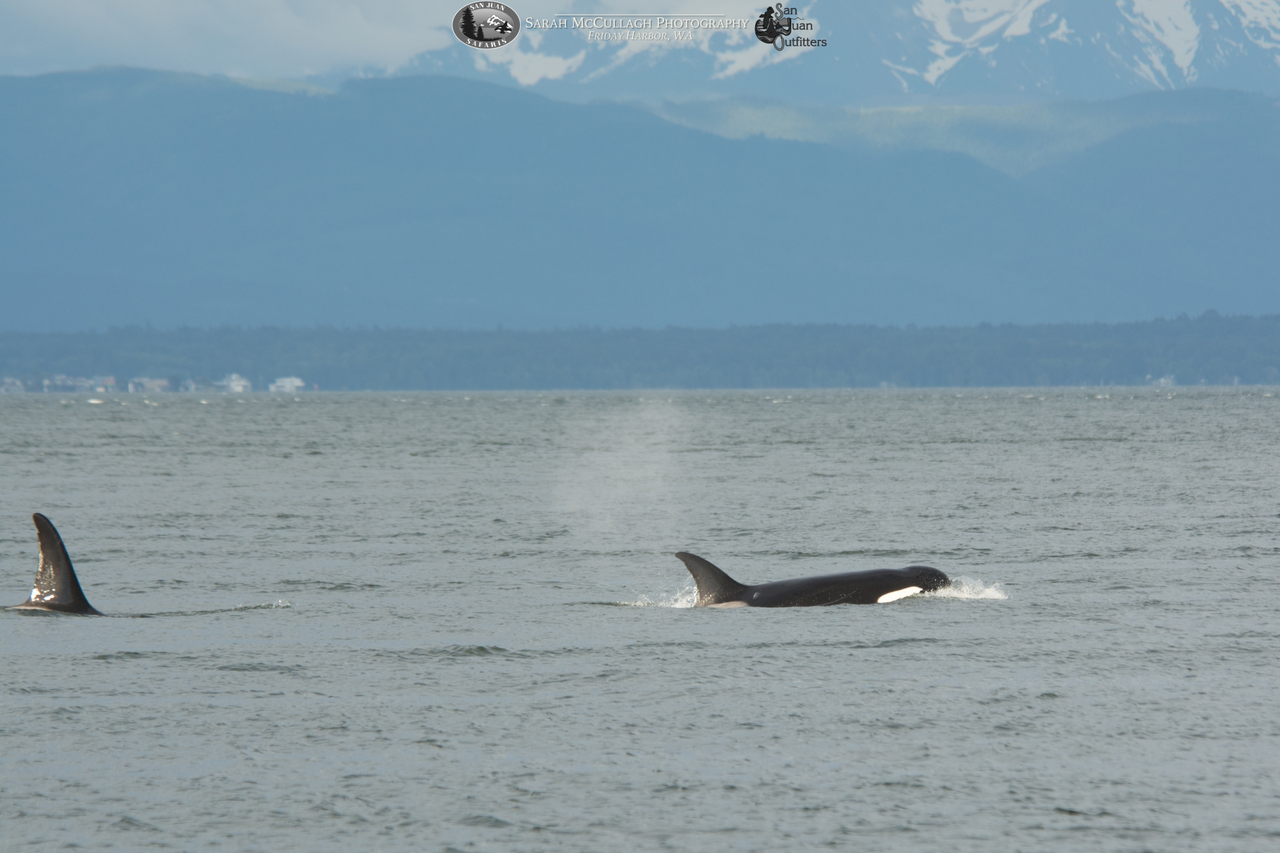 Transients Transients Killer Whales Spotted Near The San