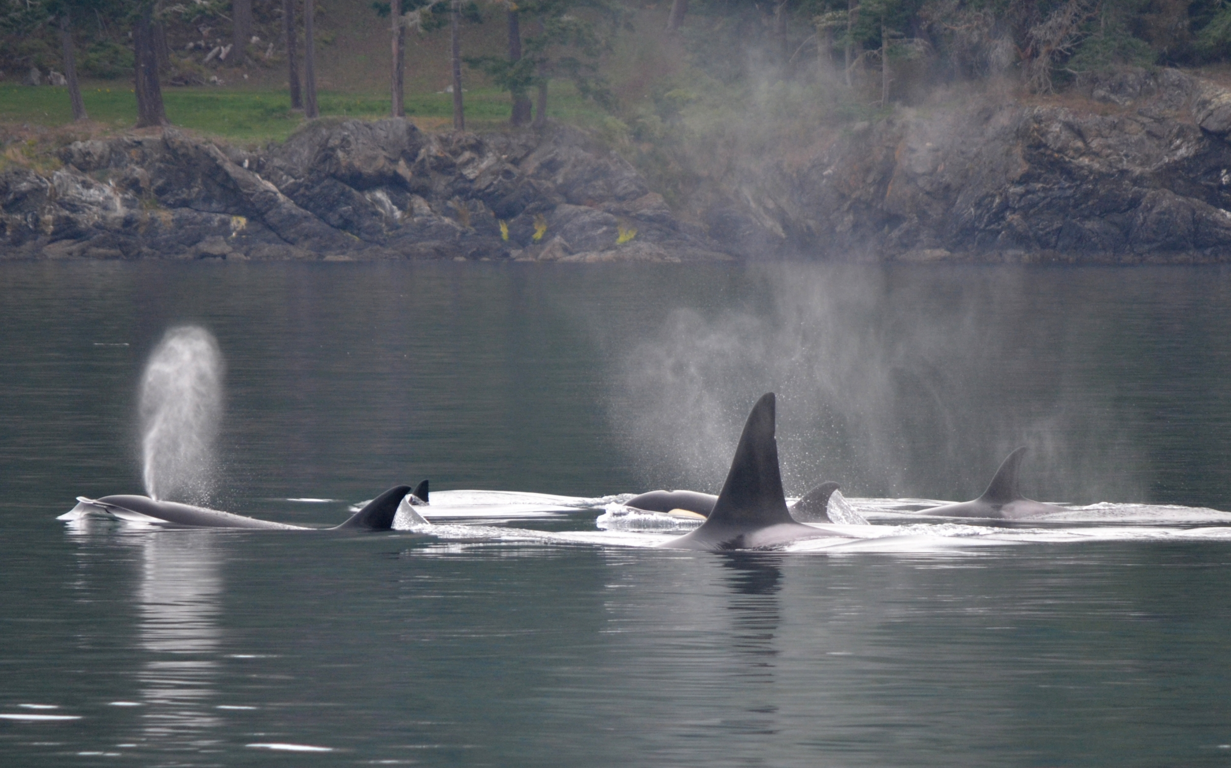 orcas surfacing near San Juan Island
