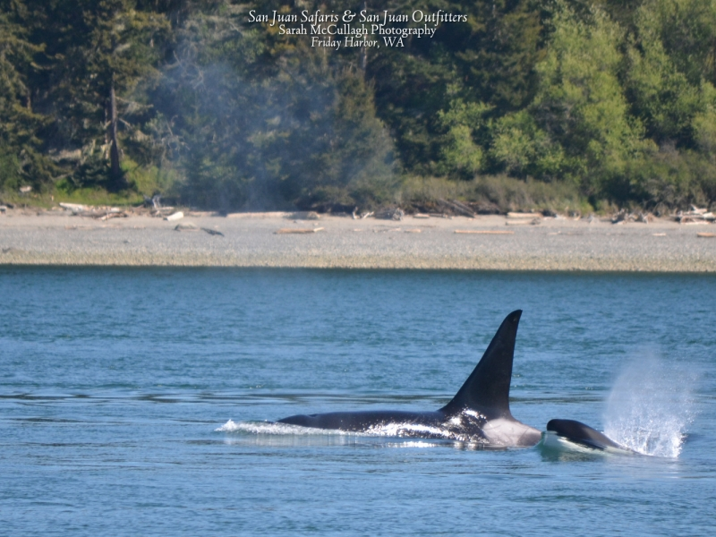 A transient killer whale and her calf surface in the San Juan Islands