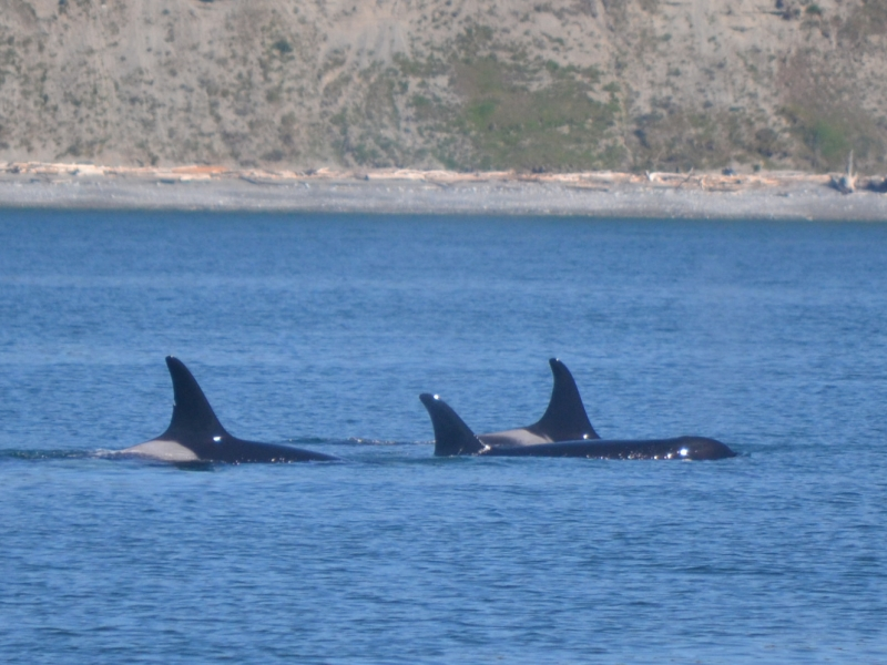 A resting group of Southern Resident Killer Whales