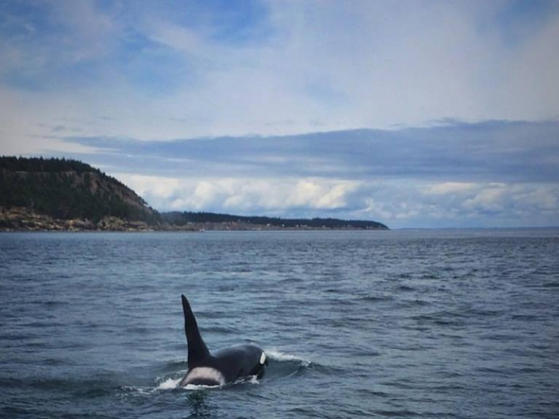 T011A Bull transient killer whale