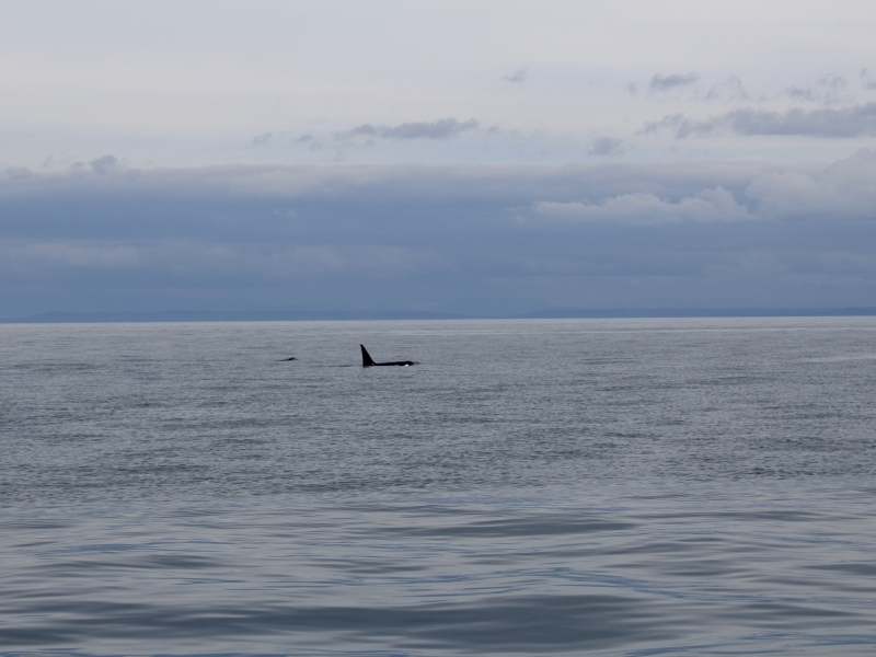 Male Transient Orca in Haro Strait