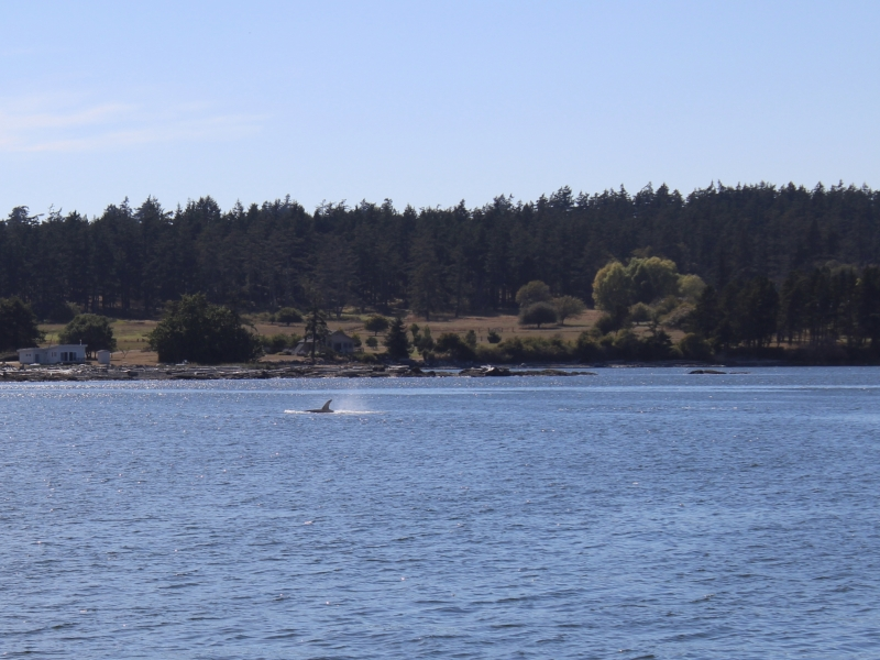 Transient Orca in Griffin Bay near San Juan Channel