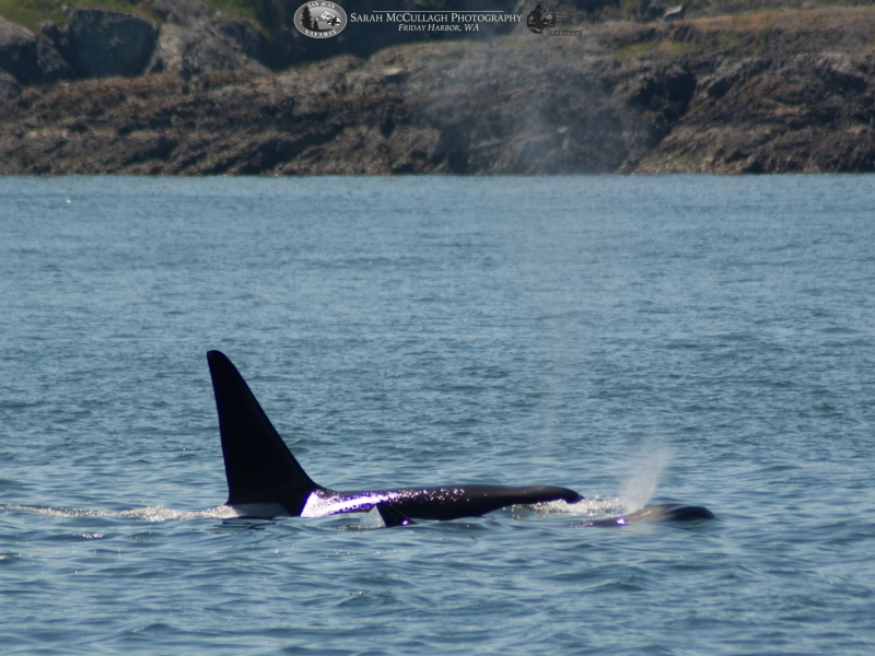 Two transient killer whales spotted near San Juan Island