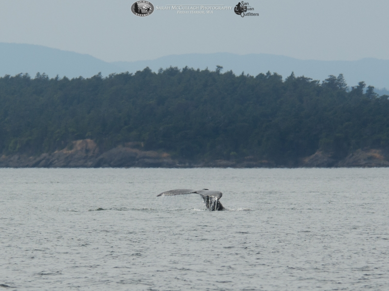 Humpback whale tail while diving and feeding.