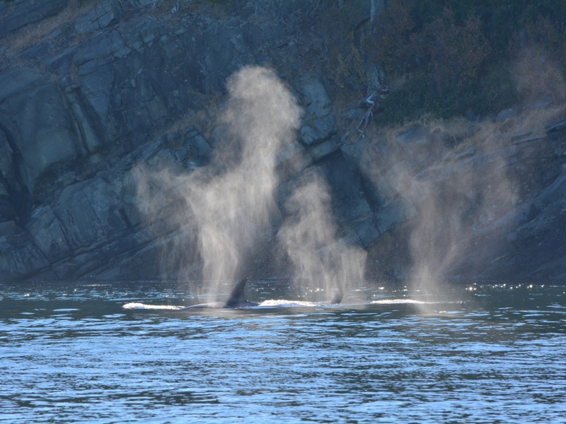 whales in canada