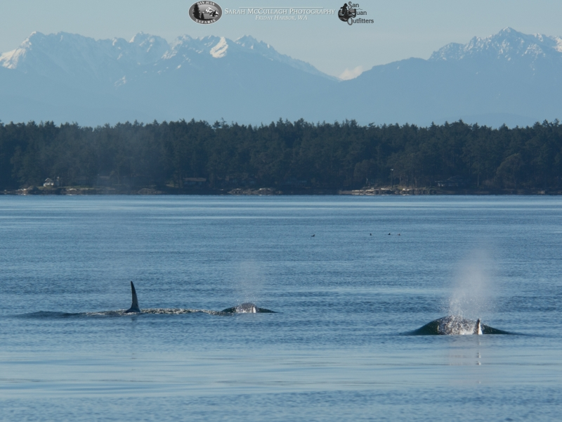 Killer whales traveling towards the Olympic Mountains