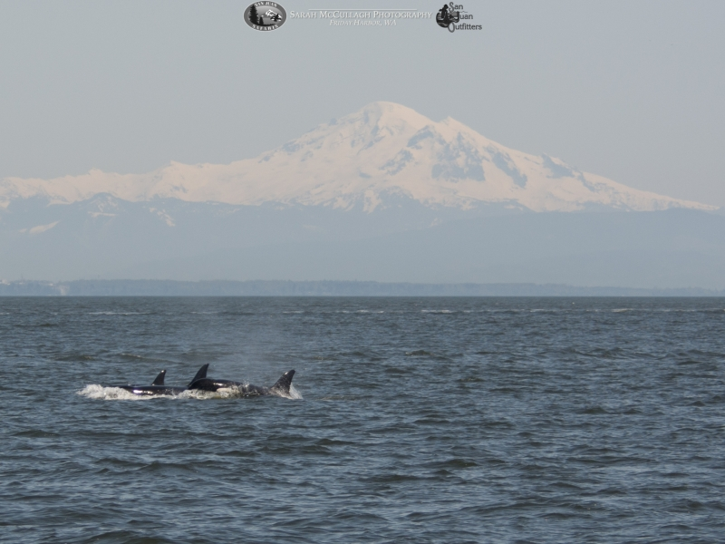 Killer whales surfacing in front of Mt. Baker