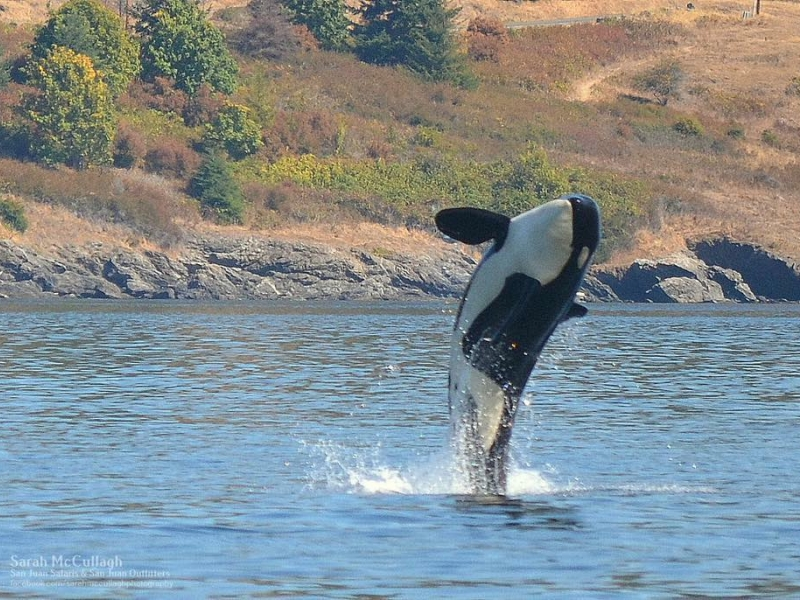 Seattle Orca Whale Watching near San Juan Island