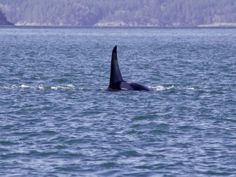 Adult Male Bigg's Orca