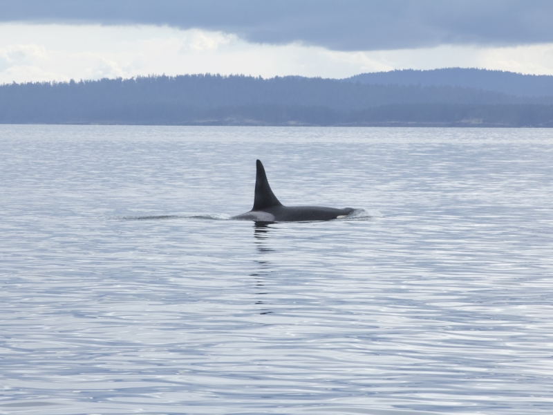 Male Southern Resident Killer Whale