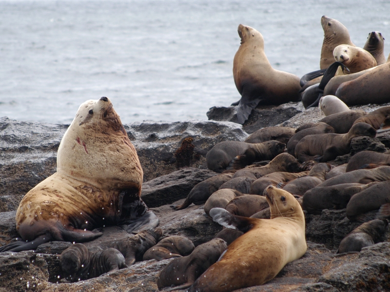 Steller's Sea Lions Around San Juan Island