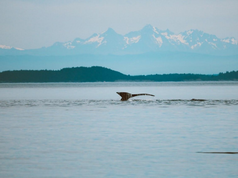 Humpback Whale Photo by Tori Lee