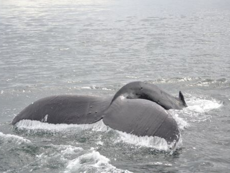 Humpback Whales in the Strait of Georgia