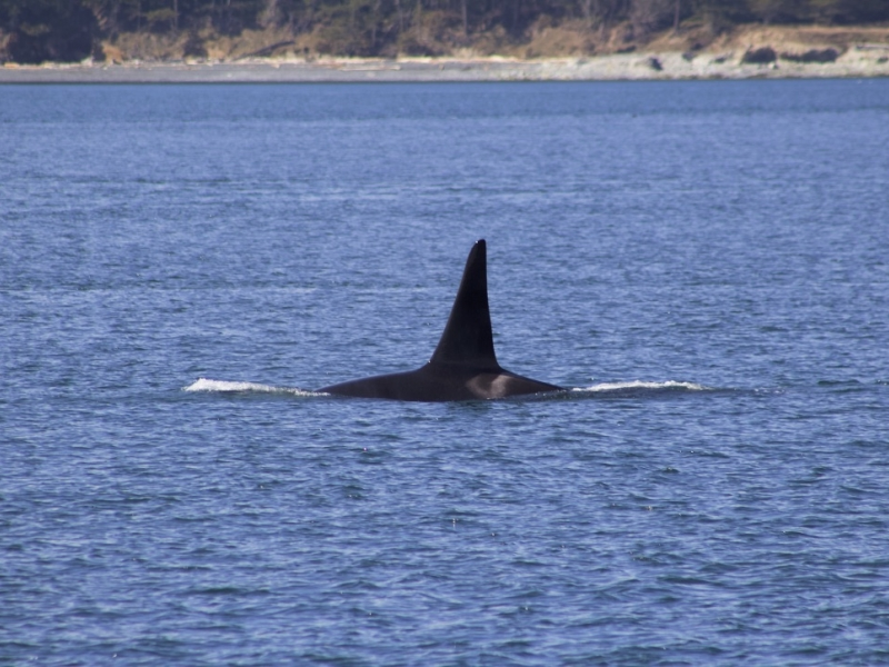 Adult Mal Southern Resident Orca
