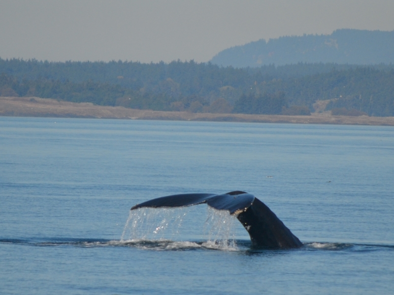 Humpback Whale in Boundary Pass