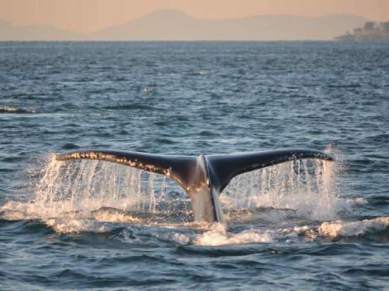 Humpback Whales in Boundary Pass