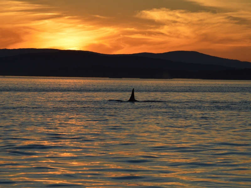 Sunset with Bigg's Killer Whales