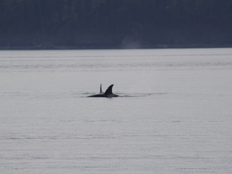 female Bigg's orcas hunting