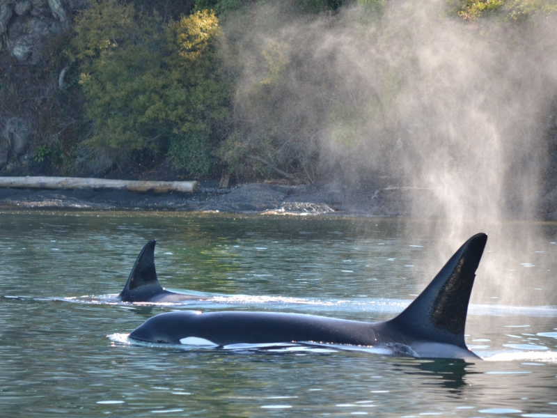orcas surfacing near san juan islands