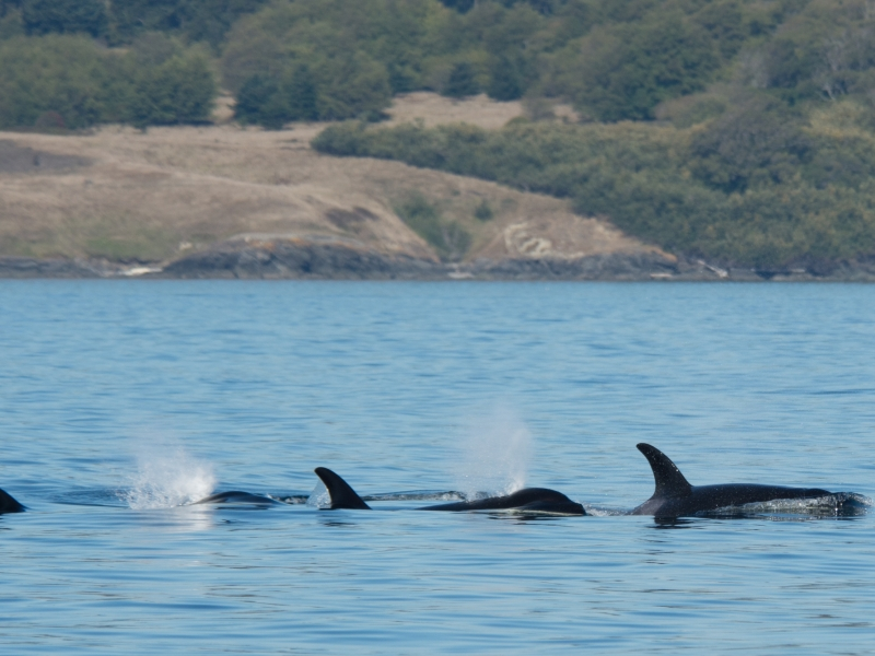 Southern Resident killer whales (2017)