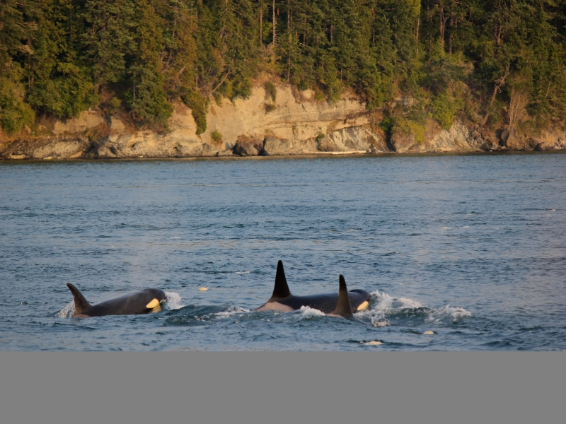 Bigg's Killer Whales Travel to Friday Harbor