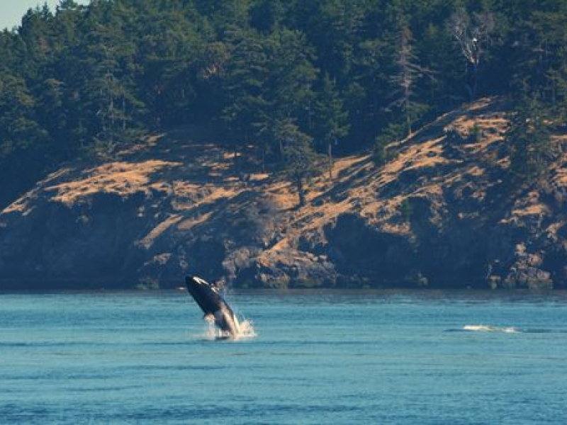 Transient Orca Swim in the Morning