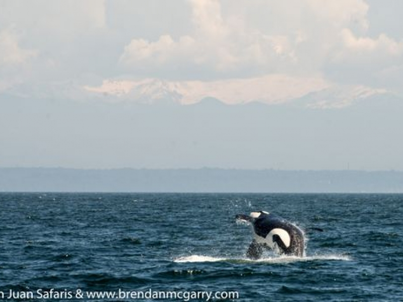 Bigg's Killer Whales in Strait of Juan de Fuca