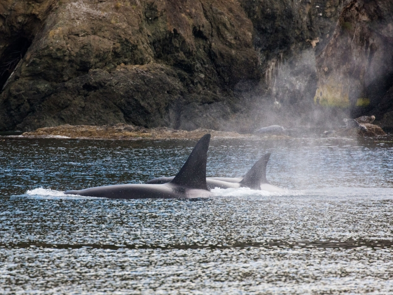Bigg's Killer Whales in Plumper Sound