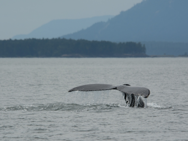 Humpback Whale showing tail before diving for food