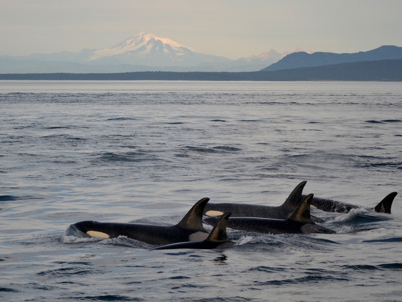 Transient Orcas and Mount Baker