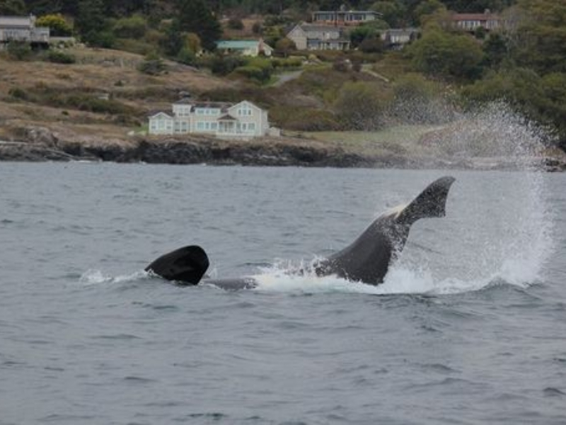 Bigg's Killer Whales playing in Swell