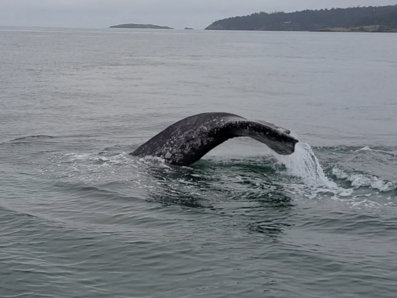 Gray Whale in the San Juan Islands
