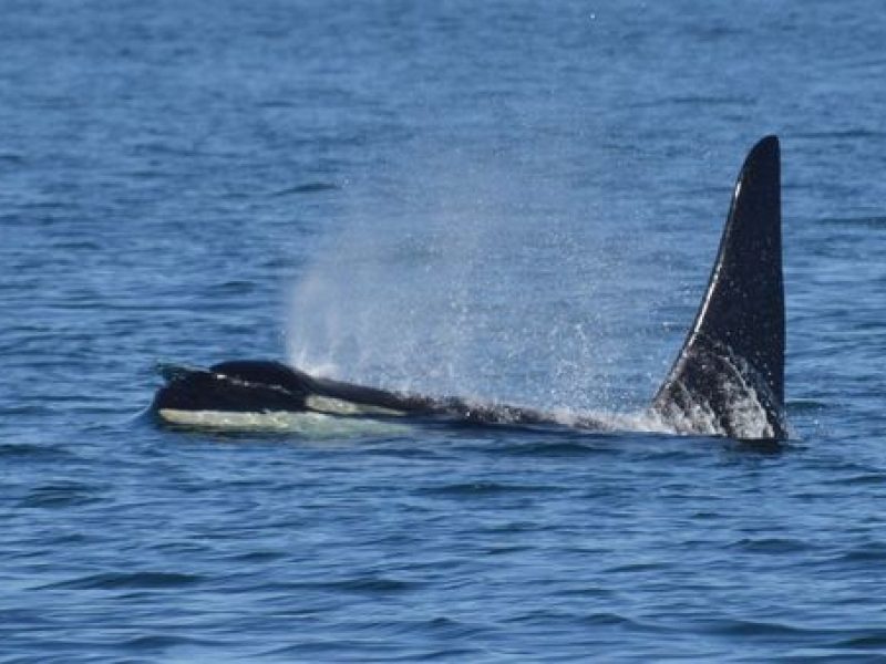 Transient Orcas traveling near Lopez Island