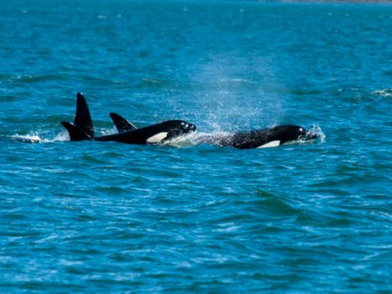 Orcas traveling through the Salish Sea with Big Swells