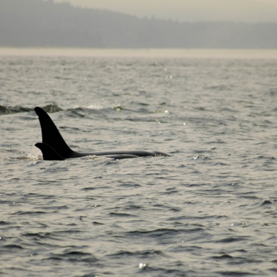 Orcas surfacing