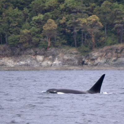 Male killer whale at the surface