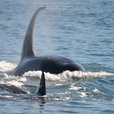 Transient Orca swimming near Friday Harbor