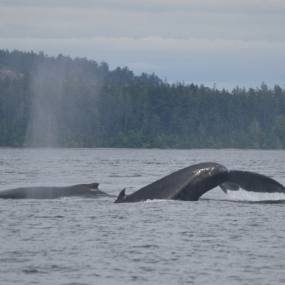Two Humpback whales in Boundary Pass, British Columbia