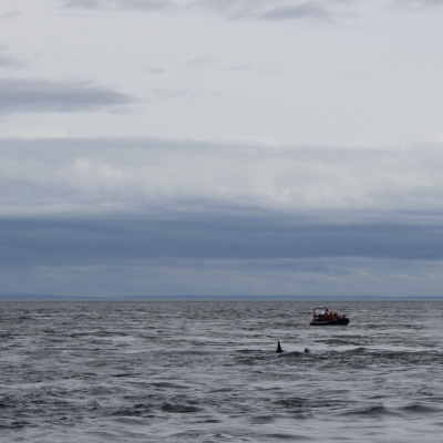Transient Orcas in Haro Strait