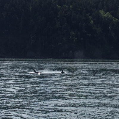 Transient Killer Whales near Orcas Island