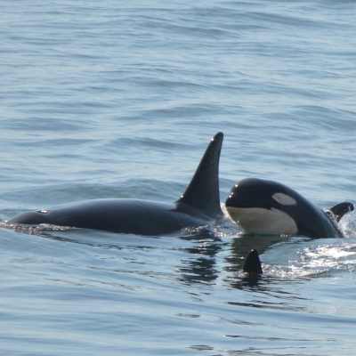 Orcas J52 Sonic & Mother J36 Alki