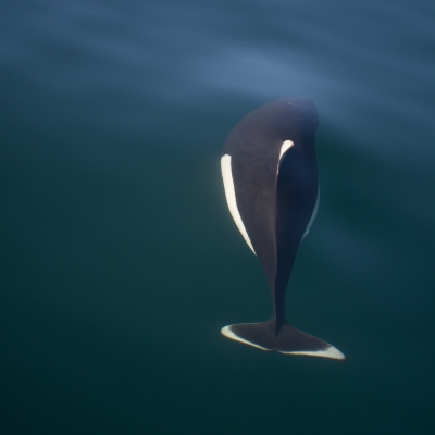 Dall's porpoise in the Salish Sea