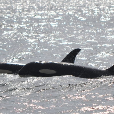 Transient killer whales continue to be the stars of the Salish Sea