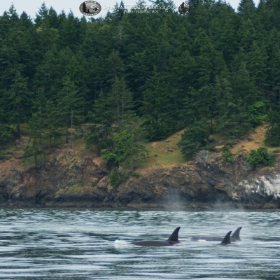 Mammal Hunting Orca Traveling Southwest of San Juan Island