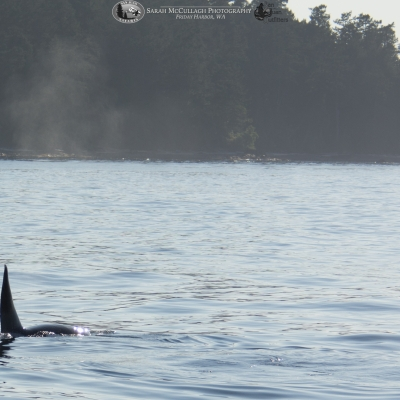 A transient orca swims near the San Juan Islands