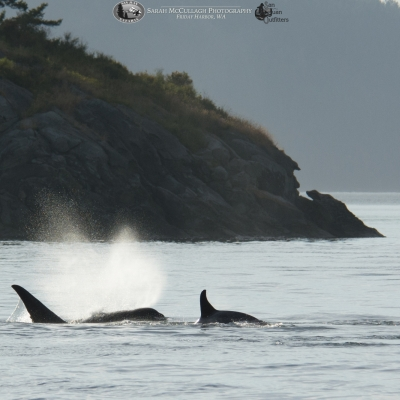 A mother transient killer whale and her calf