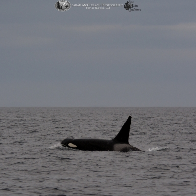 Transient Killer Whale T087
