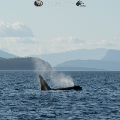 Transient Killer Whale T123A
