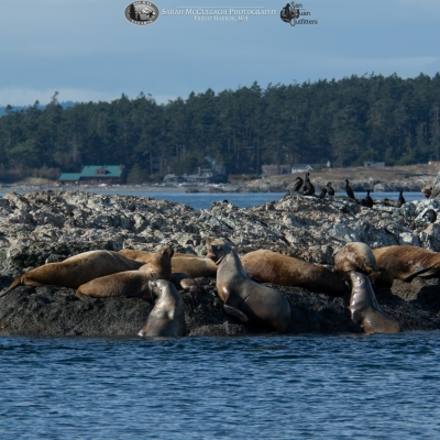 sea lions on whale rocks with seagulls